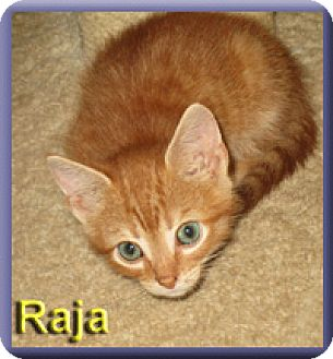 Domestic Shorthair Kitten for adoption in Aldie, Virginia - Raja