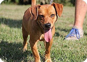 Dachshund Mix Dog for adoption in Huntley, Illinois - Wally