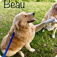 Adopt A Pet :: Beau - Nanuet, NY
