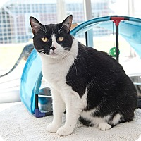 Domestic Shorthair Cat for adoption in Wilmington, Delaware - Princessa