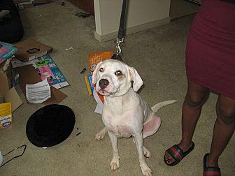 American Bulldog Mix Dog for adoption in Havana, Florida - Bronco