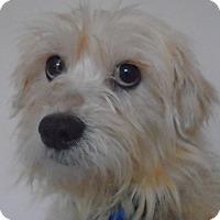 Adopt A Pet :: Burrito - Chesterfield, MO