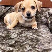 Adopt A Pet :: Apex - Weston, FL