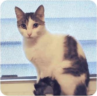 Domestic Shorthair Cat for adoption in Chicago, Illinois - Fendi