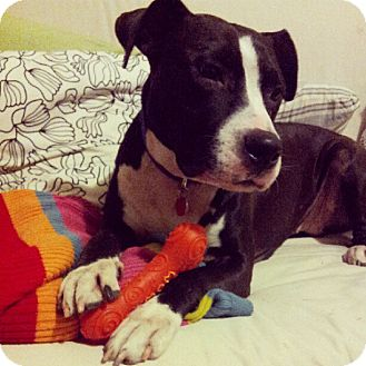 American Pit Bull Terrier Mix Dog for adoption in Montreal, Quebec - Goallie