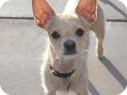 Chihuahua/Terrier (Unknown Type, Small) Mix Dog for adoption in Mesa, Arizona - Sprite