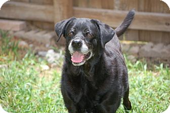 Labrador Retriever/Terrier (Unknown Type, Medium) Mix Dog for adoption in Palmetto Bay, Florida - Whoopie