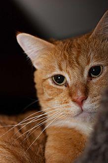 Domestic Shorthair Cat for adoption in Walla Walla, Washington - Quincy
