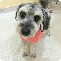 Adopt A Pet :: Mitzi - Encino, CA