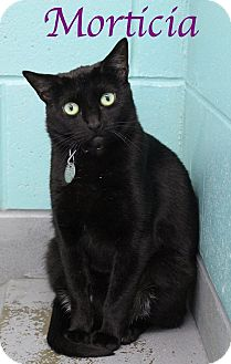 Domestic Shorthair Cat for adoption in Bradenton, Florida - Morticia