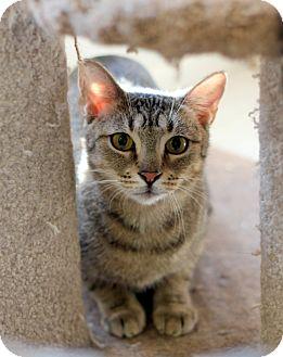 Domestic Shorthair Cat for adoption in Dalton, Georgia - Jojo