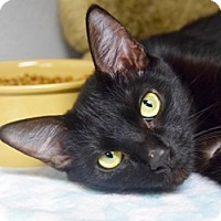 Domestic Shorthair Cat for adoption in Des Moines, Iowa - Alice