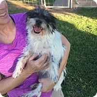 Adopt A Pet :: Darla - Redmond, WA