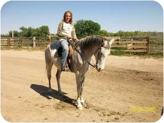 Arabian Mix for adoption in Pueblo, Colorado - Shugar