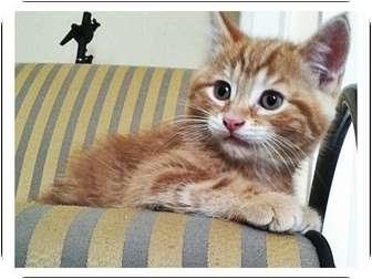Domestic Mediumhair Kitten for adoption in Toronto, Ontario - Tyrion