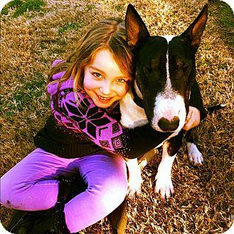 Bull Terrier Dog for adoption in Sachse, Texas - Lenard aka Spike