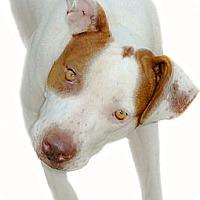 Adopt A Pet :: Rosie ambassedor for the breed - Sacramento, CA