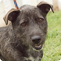 Adopt A Pet :: Shorty - Knoxville, TN