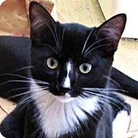 Adopt A Pet :: Miss Toes - Davis, CA