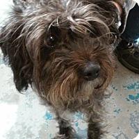 Adopt A Pet :: Muffin - Franklin, NH