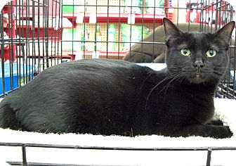 Domestic Shorthair Cat for adoption in Sterling Heights, Michigan - Flower
