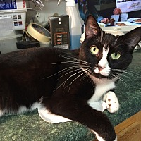 Domestic Shorthair Cat for adoption in Chattanooga, Tennessee - Maya