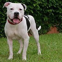 American Bulldog Mix Dog for adoption in Portland, Oregon - LT