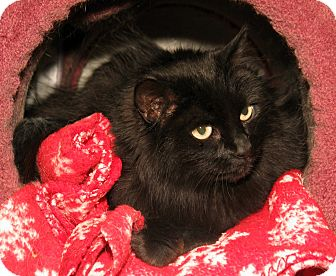 Domestic Longhair Cat for adoption in Milford, Massachusetts - Auntie