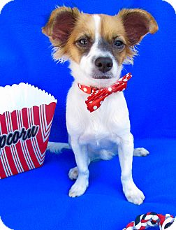 Papillon/Chihuahua Mix Dog for adoption in Irvine, California - Buddy