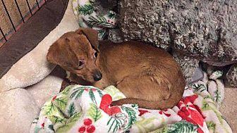 Chihuahua Dog for adoption in Calimesa, California - Cece