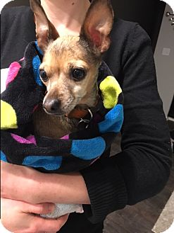 Chihuahua/Miniature Pinscher Mix Dog for adoption in Jamestown, Michigan - Fawn