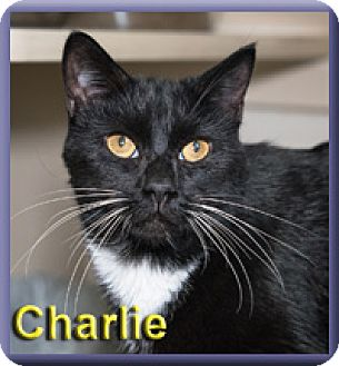 Domestic Shorthair Cat for adoption in Aldie, Virginia - Charlie