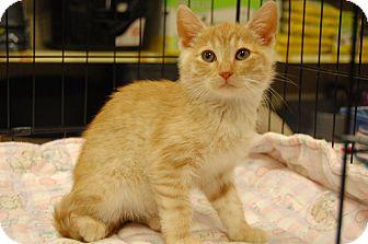 Domestic Mediumhair Kitten for adoption in Whittier, California - Dugan