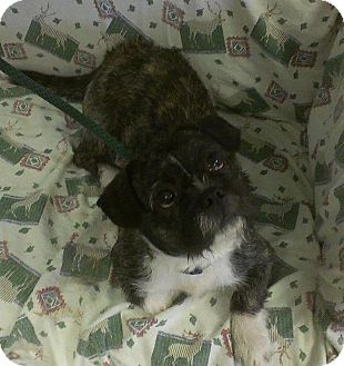 Boston Terrier/Lhasa Apso Mix Dog for adoption in Ridgely, Maryland - Rocky