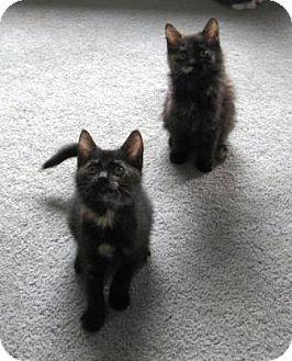 Domestic Shorthair Kitten for adoption in Kirkwood, Delaware - Bibsy