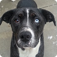 Adopt A Pet :: Majesty(ADOPTED!) - Chicago, IL