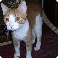 Domestic Shorthair Cat for adoption in Rochester, Minnesota - Duffy