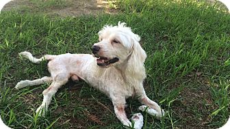 Poodle (Miniature) Mix Dog for adoption in Vista, California - Wesley
