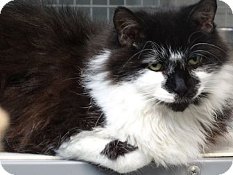Domestic Longhair Cat for adoption in Bloomfield, New Jersey - FANG