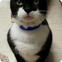 Domestic Shorthair Cat for adoption in Lakeland, Florida - Cricket