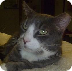 Domestic Shorthair Cat for adoption in Hamburg, New York - Smudge