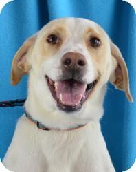 Pointer/Hound (Unknown Type) Mix Dog for adoption in Minneapolis, Minnesota - Bessie