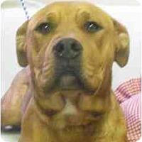 Adopt A Pet :: Starla - URGENT - Seattle, WA