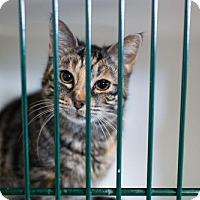 Adopt A Pet :: Saber - Hamilton, ON