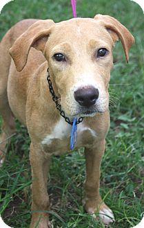 Labrador Retriever Mix Dog for adoption in Beaumont, Texas - Goonie