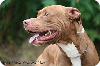 American Staffordshire Terrier/American Pit Bull Terrier Mix Dog for adoption in Covington, Tennessee - Gator