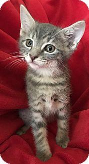 Domestic Shorthair Kitten for adoption in Nashville, Tennessee - Eddie