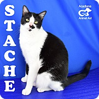 Domestic Shorthair Cat for adoption in Carencro, Louisiana - Stache