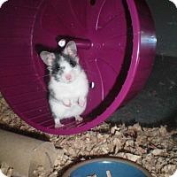 Adopt A Pet :: PIkachu - Bensalem, PA