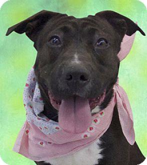 Staffordshire Bull Terrier Mix Dog for adoption in Cincinnati, Ohio - Nina